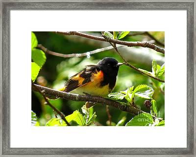American Redstart Framed Print by J L Kempster