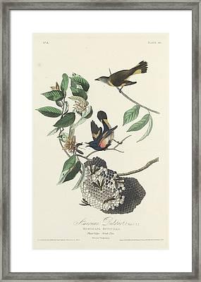 American Redstart Framed Print by John James Audubon