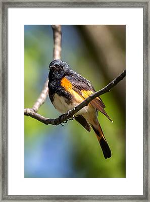 American Redstart Portrait Framed Print by Bill Wakeley