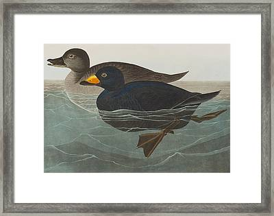 American Scoter Duck Framed Print by John James Audubon