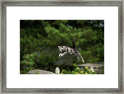 American Shorthair, Leaping Framed Print by Gerard Lacz