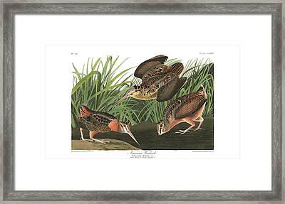 American Woodcock Framed Print by John Audubon