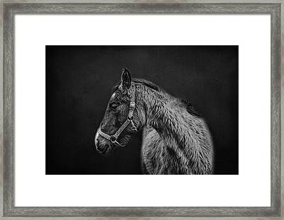 Amish Horse Portrait Framed Print by Shara Lee