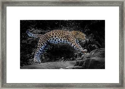 Amur Leopard On The Hunt Framed Print by Martin Newman