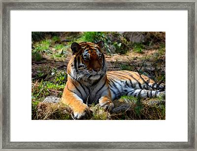 Amur Tiger 1 Framed Print by Angelina Vick