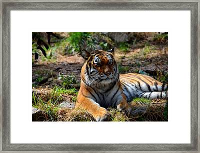 Amur Tiger 10 Framed Print by Angelina Vick