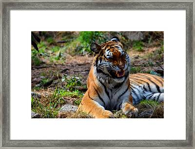 Amur Tiger 3 Framed Print by Angelina Vick