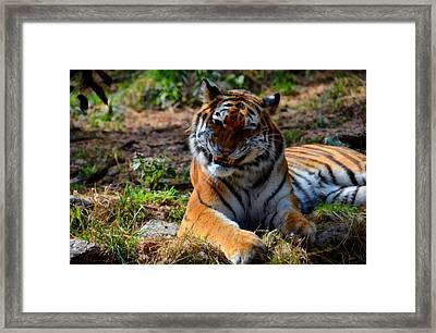 Amur Tiger 4 Framed Print by Angelina Vick