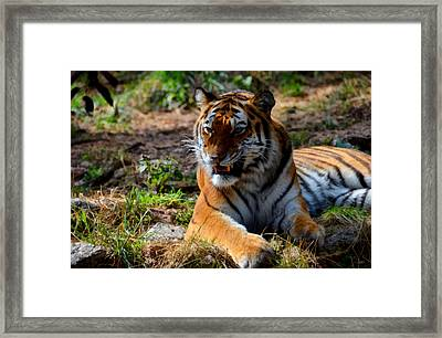 Amur Tiger 5 Framed Print by Angelina Vick