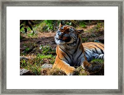 Amur Tiger 6 Framed Print by Angelina Vick