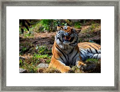 Amur Tiger 7 Framed Print by Angelina Vick