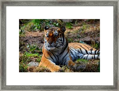 Amur Tiger 8 Framed Print by Angelina Vick