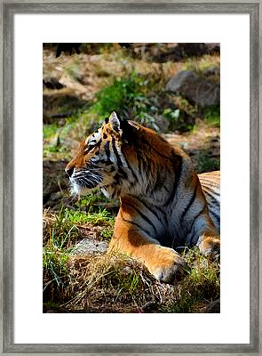 Amur Tiger 9 Framed Print by Angelina Vick