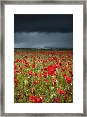 An Abundance Of Poppies In A Field Framed Print by John Short