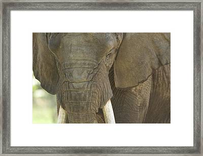 An African Elephant At The Henry Doorly Framed Print by Joel Sartore