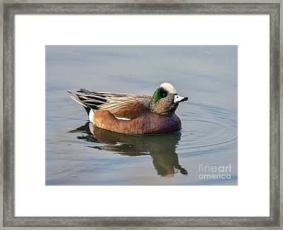 An American Wigeon Out For A Stroll Framed Print by Eddie Yerkish