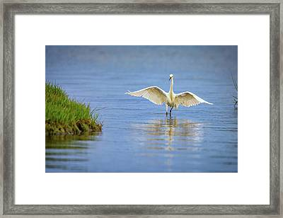 An Egret Spreads Its Wings Framed Print by Rick Berk