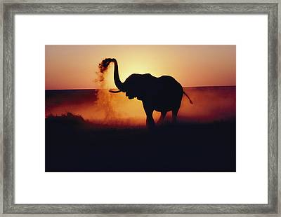 An Elephant Loxodonta Africana Tosses Framed Print by Annie Griffiths