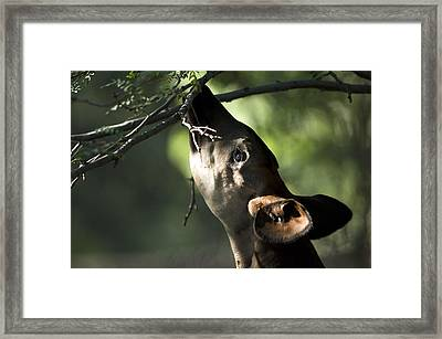 An Okapi Reaches For A Little Snack Framed Print by Joel Sartore