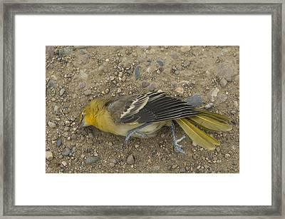 An Orchard Oriole On A Gravel Road Framed Print by Joel Sartore
