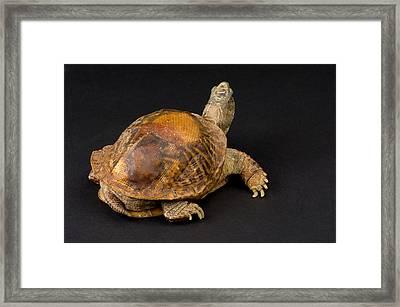 An Ornate Box Turtle With A Fiberglass Framed Print by Joel Sartore