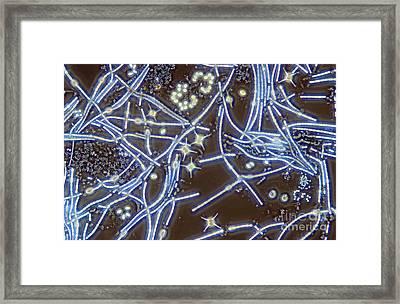 Anabaena Staurastrum Anoptral Contrast Framed Print by M I Walker