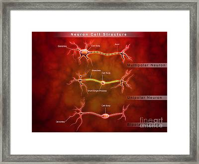 Anatomy Structure Of Neurons Framed Print by Stocktrek Images
