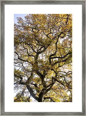 Ancient Autumn Oak Framed Print by Tim Gainey