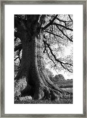 Ancient Oak Framed Print by Thomas R Fletcher