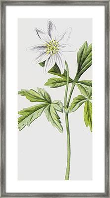 Anemone Framed Print by Frederick Edward Hulme