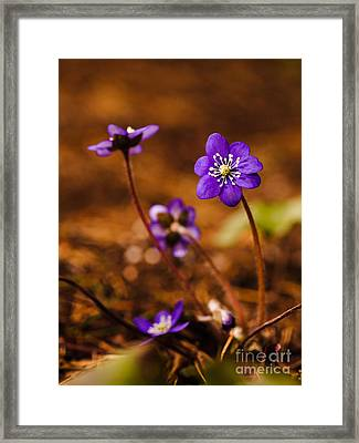 Anemone Hepatica Framed Print by Ismo Raisanen