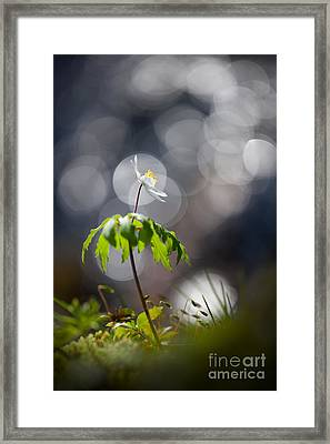 Anemone  Framed Print by Rikard Strand