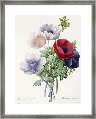 Anemone Simple Framed Print by Pierre Joseph Redoute