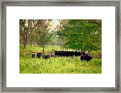 Angus At Pasture Framed Print by Jan Amiss Photography