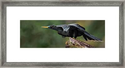 Anhinga Anhinga Anhinga, Costa Rica Framed Print by Panoramic Images