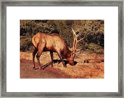 Animal - Elk -  An Elk Eating Framed Print by Mike Savad