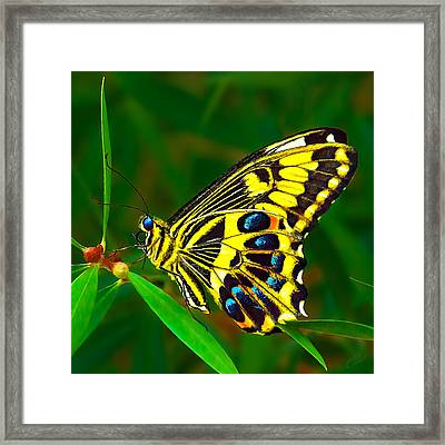 Anise Swallowtail Butterfly 1 Framed Print by Bill Caldwell -        ABeautifulSky Photography