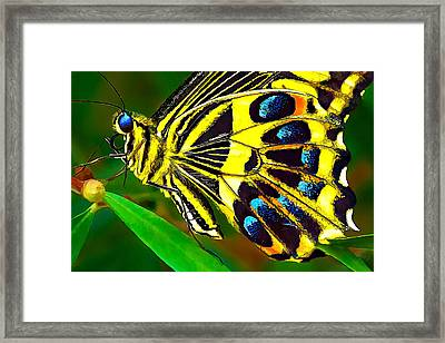 Anise Swallowtail Butterfly 2 Framed Print by Bill Caldwell -        ABeautifulSky Photography