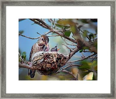 Anna's Hummingbirds Framed Print by Nikolyn McDonald