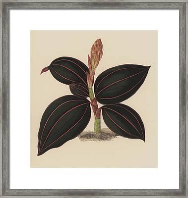 Anoectochilus Rubro Venia Framed Print by English School