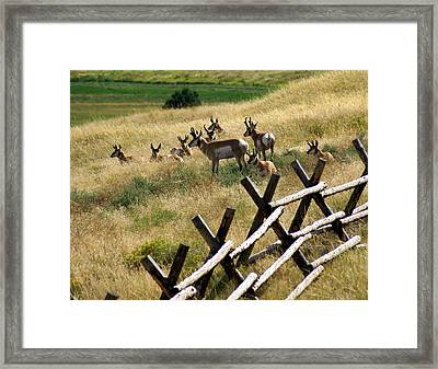 Antelope 2 Framed Print by Marty Koch