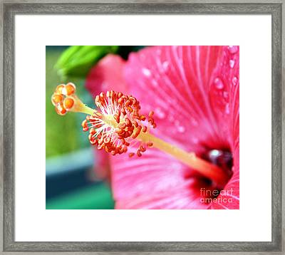 Anthers And Flaments On Hibiscus Framed Print by Eva Thomas