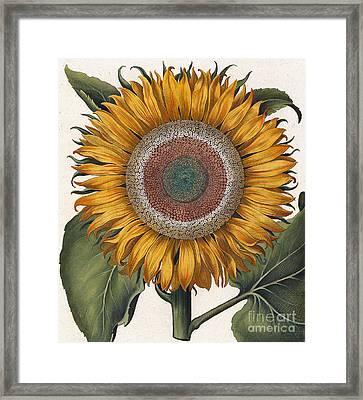 Antique Sunflower Print Framed Print by Basilius Besler