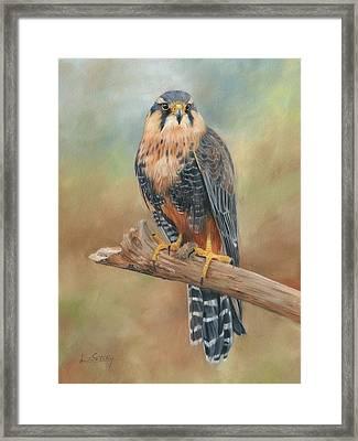 Aplomado Falcon Framed Print by David Stribbling