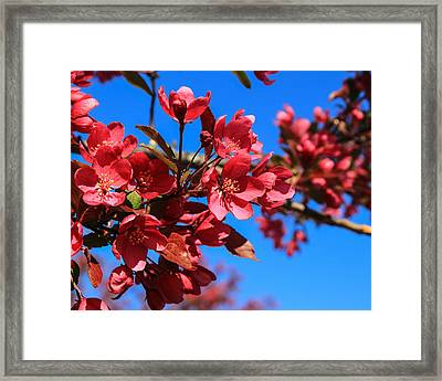 Apple Blossoms #2 Framed Print by Laurie Breton