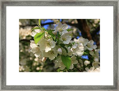 Apple Blossoms  Framed Print by Laurie Breton