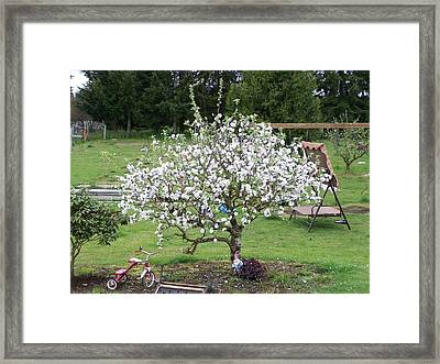 Apple Blossoms Framed Print by Laurie Kidd