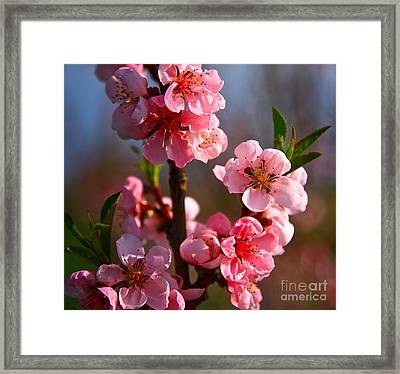 Apple Blossoms Framed Print by Robert Pearson
