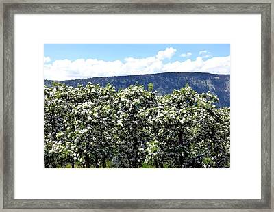 Apple Trees In Bloom     Framed Print by Will Borden