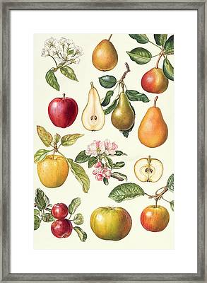 Apples And Pears Framed Print by Elizabeth Rice